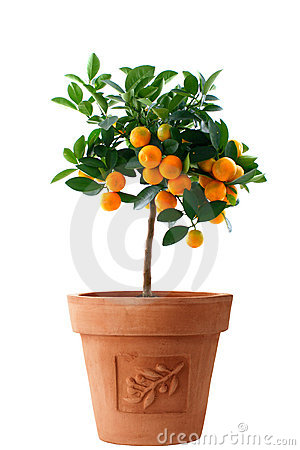 Little orange tree isolated in italy flower pot