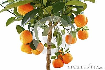 Little orange tree isolated on white