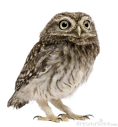 Free Little Owl, 50 Days Old, Athene Noctua, Standing Stock Photography - 16407412