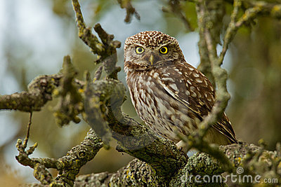 Little Owl in an apple tree