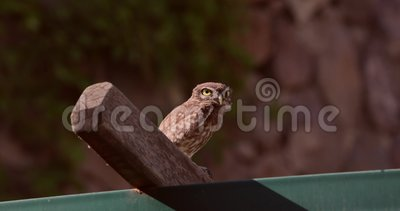 Little Owl Flies Away. Little Owl, Athene noctua, notices the camera and flies away immediately stock video footage
