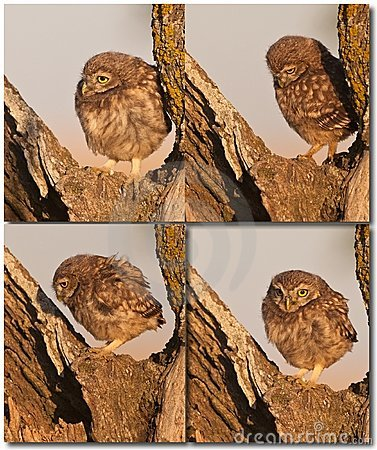 Little Owl babies