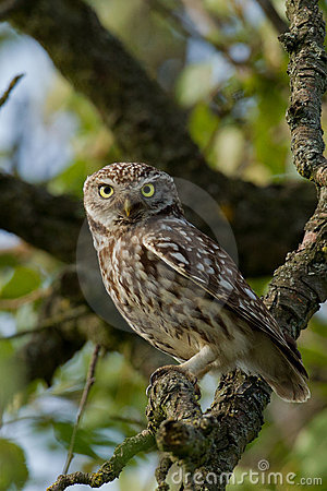 Free Little Owl In An Apple Tree Royalty Free Stock Photography - 15169907