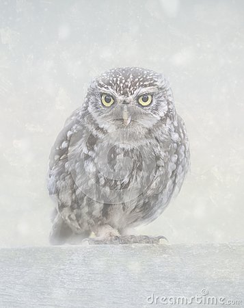 Free Little Owl In Snow Royalty Free Stock Images - 124001689