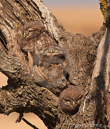 Little Owlets: three brothers