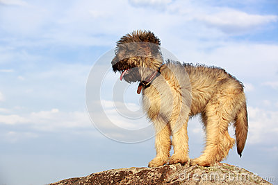 Little pale yellow briard
