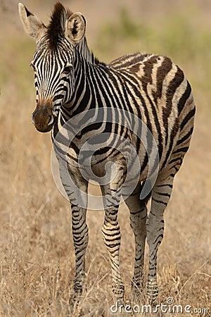 Little Plains Zebra