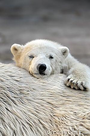 Free Little Polar Bear Cub Having A Rest Royalty Free Stock Photo - 14074435