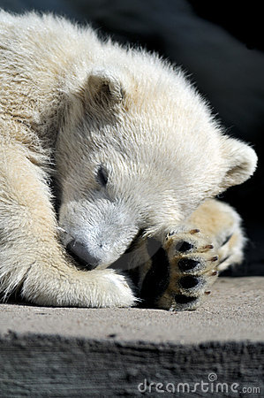 Little polar bear cub having a rest