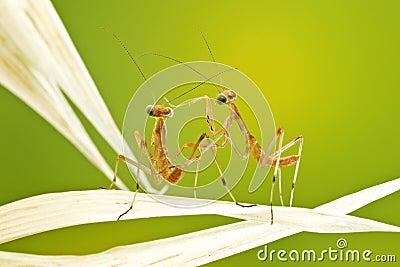 Little praying mantises