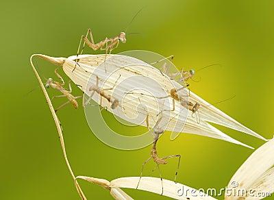 little praying mantises close-up
