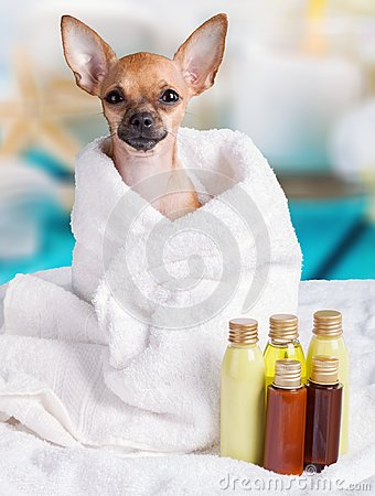 Free Little Pretty Dog Sitting In Towel With Oil Spa Royalty Free Stock Photos - 109921418