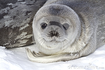 Little pup Weddell seals which lies