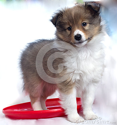 Free Little Puppy Sheltie Royalty Free Stock Photography - 31035007