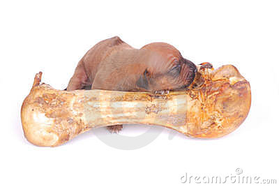 Little puppy sleeping on big bone