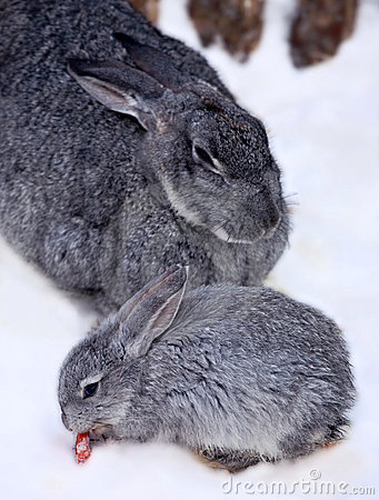 Little rabbit with doe-rabbit