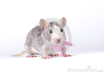 Little rat with a pink bow