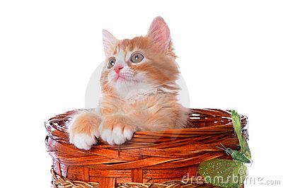 Little red kitten pops up from the basket