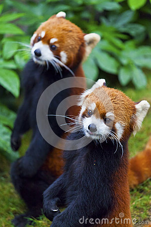 Little red panda standing