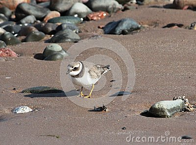 Little Ringed Plover charadrius dubius on shore Stock Photo
