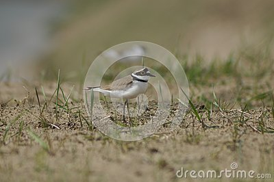 Little Ringed Plover, gravel, birds