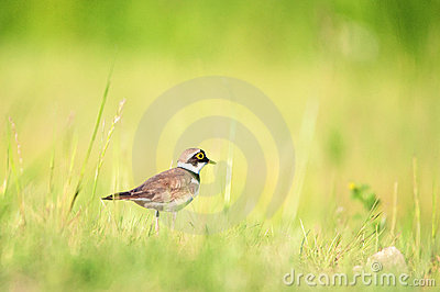 Little Ringed Plover standing on a grass in meadow