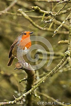 little robin red breast stock images image 8380774. Black Bedroom Furniture Sets. Home Design Ideas