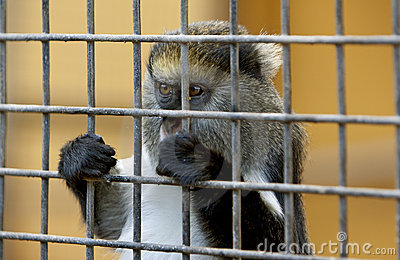 Little sad monkey behind cage in zoo