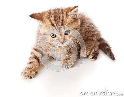 A little scottish straight kitten is on the floor