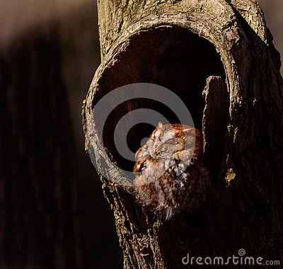 Free Little Screech Owl Napping In The Morning Sun Stock Photography - 129871522