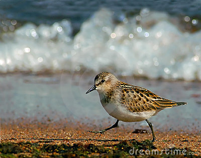 Little Stint at the shoreline