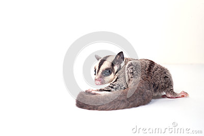 Little sugar-glider on white background
