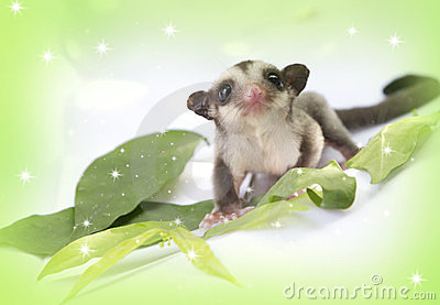 Little sugarglider so cute