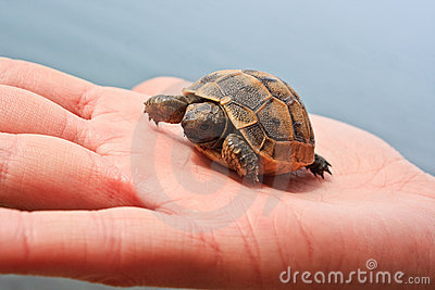 Little turtle in the palm
