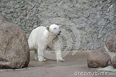 Little wet polar bear