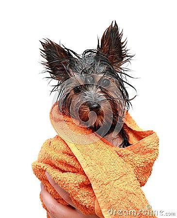 Little wet Yorkshire terrier