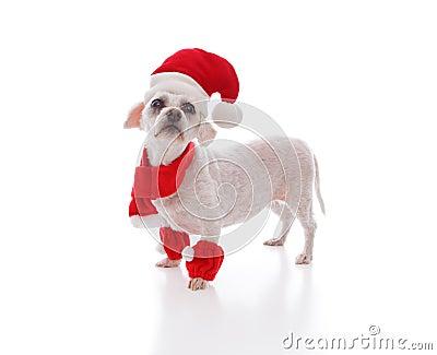 Little white dog looking for santa