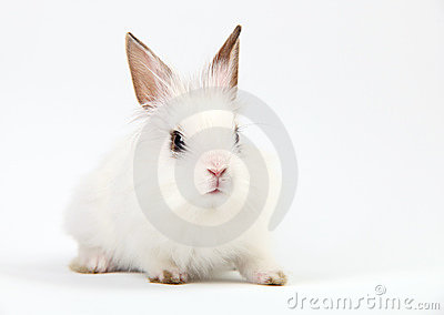 Little White Domestic Rabbit on White Background