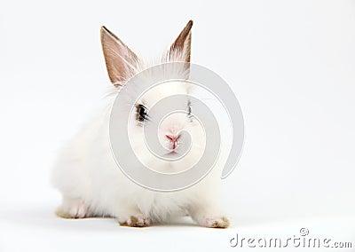 Little White Domestic Rabbit on White Background
