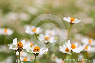 Little white flower with yellow pollen