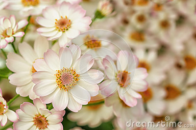 Little white and pink dahlias