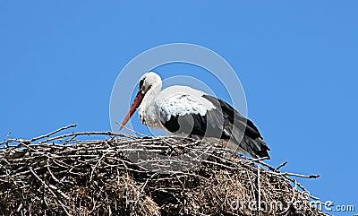Little white stork in nest