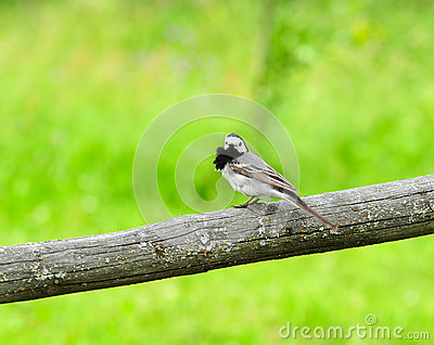 Little White Wagtail Bird Sitting on Perch