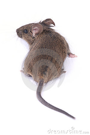 Little Wild Mouse Royalty Free Stock Image - Image: 12538916