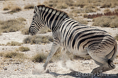 Little zebra portrait namibia