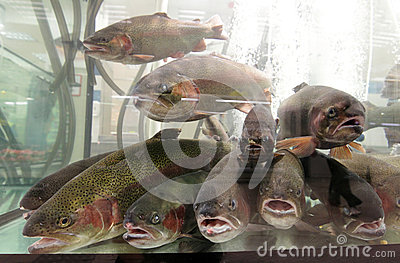 Live Aquarium Trout Fish For Sale Stock Image - Image: 25390891