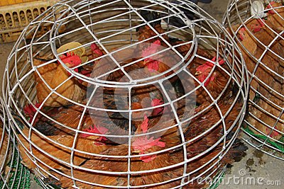 Live chickens can transfer Sars virus and H7N9, H5N8 and H5N1 viruses in China, Asia, Europe and the USA