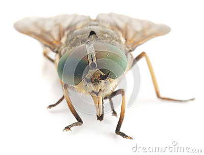 Live horsefly isolated on white background