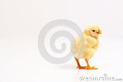 Live little yellow chicken animal