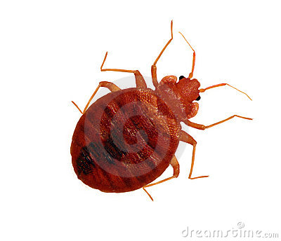 Live Macro Adult Bedbug Stock Photo